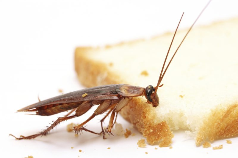 Cockroach eating piece of bread